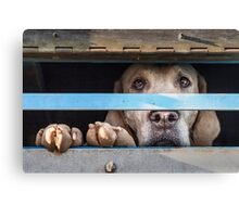 Foxhound looking out of trailer Canvas Print