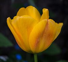 Yellow Tulip by Glen Allen