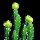 Cactus Flowers by henuly1