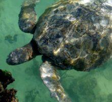 Galapagos Green Sea Turtle Sticker