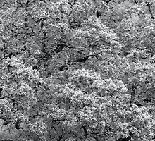 Spring Oak B&W by Neil Bygrave (NATURELENS)