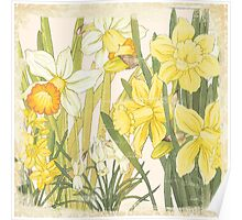 Vintage floral print on shabby white - Daffodil Flower Poster