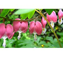 Bleeding Hearts - Dicentra Photographic Print