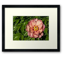 Exotic Beauty - Unusual Peony Basking in the Sunshine Framed Print