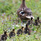 A line of Mallard ducklings following their mother by Sara Sadler