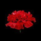 Poppy•2 by Robert Meyer