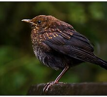 Blackbird chick by Martyn Franklin