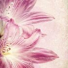 Lily in Pink by Janette Anderson