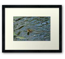 Day old mallard duck duckling Framed Print