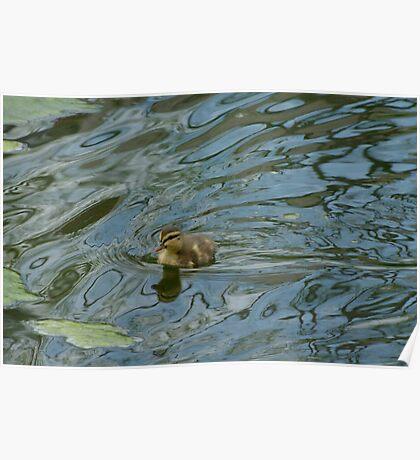 Day old mallard duck duckling Poster