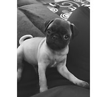Pugsley The Adorable Pug Puppy Photographic Print