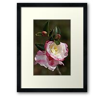 Camellias in May Framed Print
