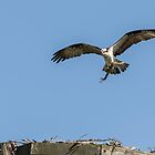 Osprey 2016-8 by Thomas Young