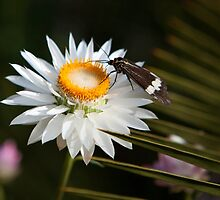 moth and everlasting by Martin Pot