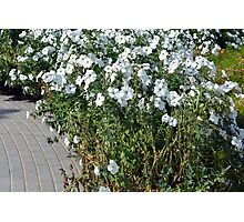 Green bush with white flowers. Photographic Print