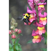 Bumble bee and flower Photographic Print