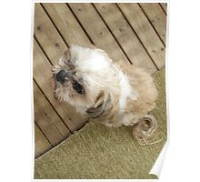 shih tzu look cool Poster