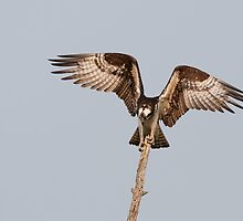 Balancing Act - Osprey by Jim Cumming