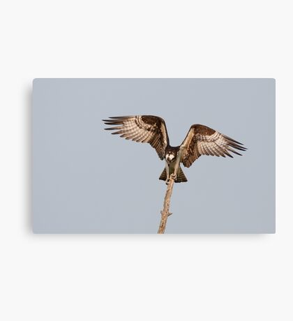 Balancing Act - Osprey Canvas Print