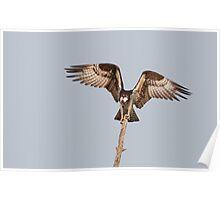 Balancing Act - Osprey Poster