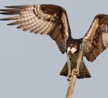 Balancing Act - Osprey Sticker
