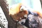 The Red Panda by Olivia Moore