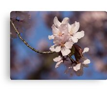 Pink Spring - Sunlit Blossoms and Blue Sky Canvas Print