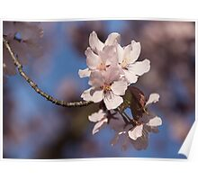 Pink Spring - Sunlit Blossoms and Blue Sky Poster