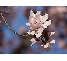 Pink Spring - Sunlit Blossoms and Blue Sky Photographic Print