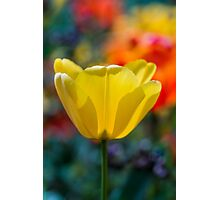A yellow tulip flower set against a colourful background Photographic Print