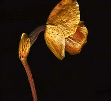Lady Slipper Orchid ~ Dried  by Barbara Wyeth