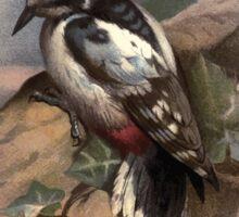 Familiar wild birds Swaysland 1883 V4 221 Great Spotted Woodpecker Sticker