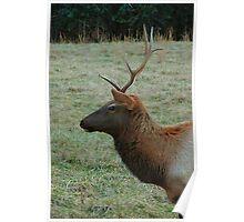 Cataloochee Elk bull Poster