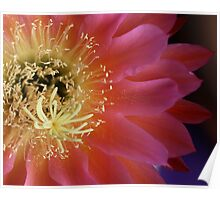 Heart of a cactus flower. Poster