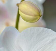 Vertical of White Orchid Flower Sticker