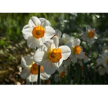 Sunny Side Up - Daffodils Blooming in a Fabulous Spring Garden Photographic Print