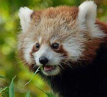 Nepalese Red Panda Junior by Margaret Saheed