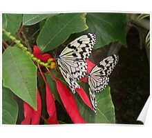 Pair of Butterflies in OKinawa Poster