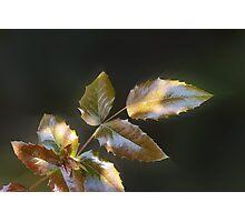 shining leaves Photographic Print