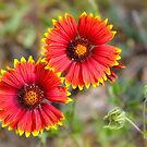 Indian Blanket Sundance by Owed To Nature