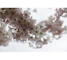 Clouds of Soft Pink Blossoms - a Tribute to Spring Photographic Print