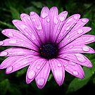 Wet & Beautiful Daisy by EdsMum