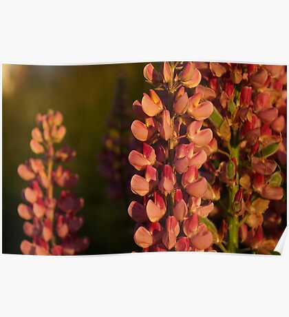 Hot Pink Lupines From My Mother's Garden - Take 2 Poster