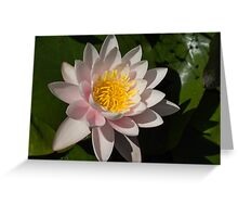 Crisp, Gently Pink Waterlily in the Hot Mediterranean Sun Greeting Card