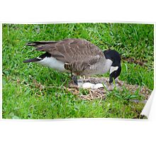 Mother Goose With Eggs in Nest Poster