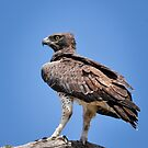 Martial Eagle by Karine Radcliffe