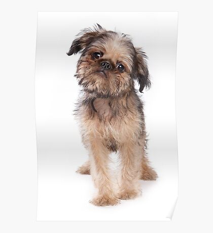Funny fluffy puppy dogs Griffon Poster