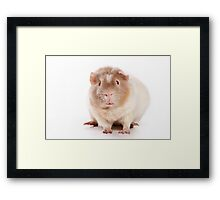 Sweet red guinea pig Framed Print