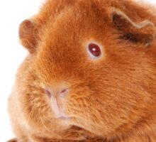Sweet red guinea pig Sticker