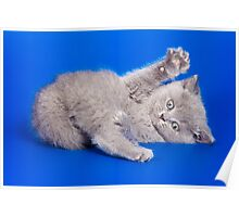 Lovely fluffy kitten charming British cat Poster